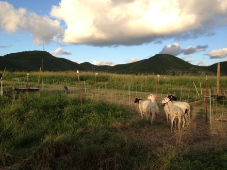 Five hair sheep pastured with electric netting at ARTfarm.
