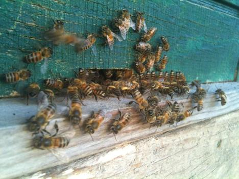 A closeup of about fifty honeybees loitering around the entrance to a painted wooden beehive.