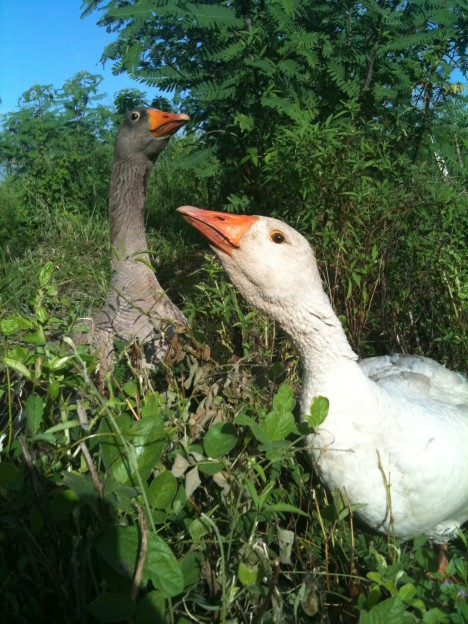 A Buff and a Toulouse goose wander in one of ARTfarm's fallow summer gardens, munching on basil and hot peppers.