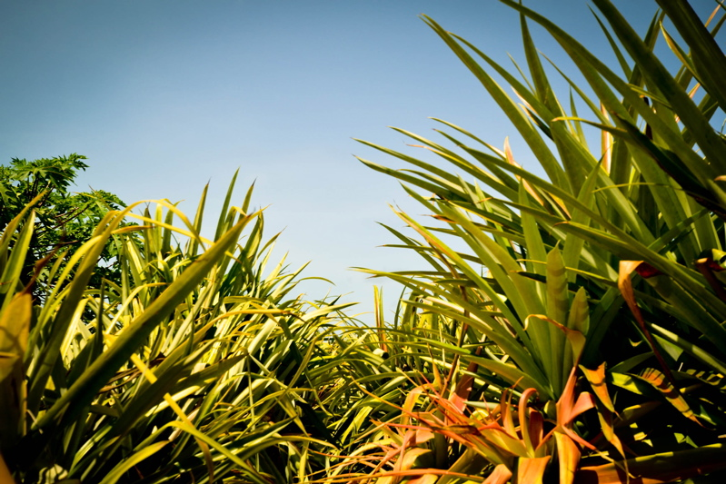 A wide angle shot from low shows the spiny leaves of pineapple plants against a blue Caribbean sky.