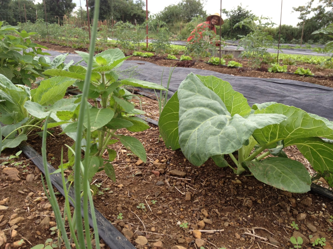 Collards, onions and holy basil growing at the ARTfarm with rows of tomatoes and baby greens in the background.