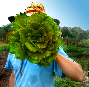 A farmer holds up a giant head of lettuce in front of his face.