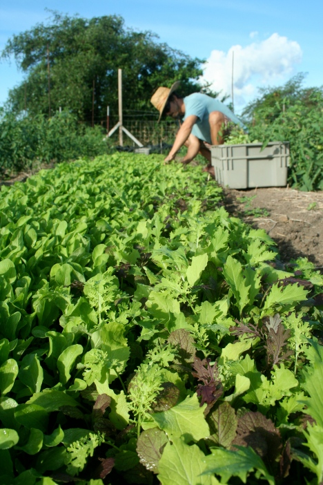 Farmer Luca hand harvests fresh baby mixed spicy greens from a crop row at ARTfarm.