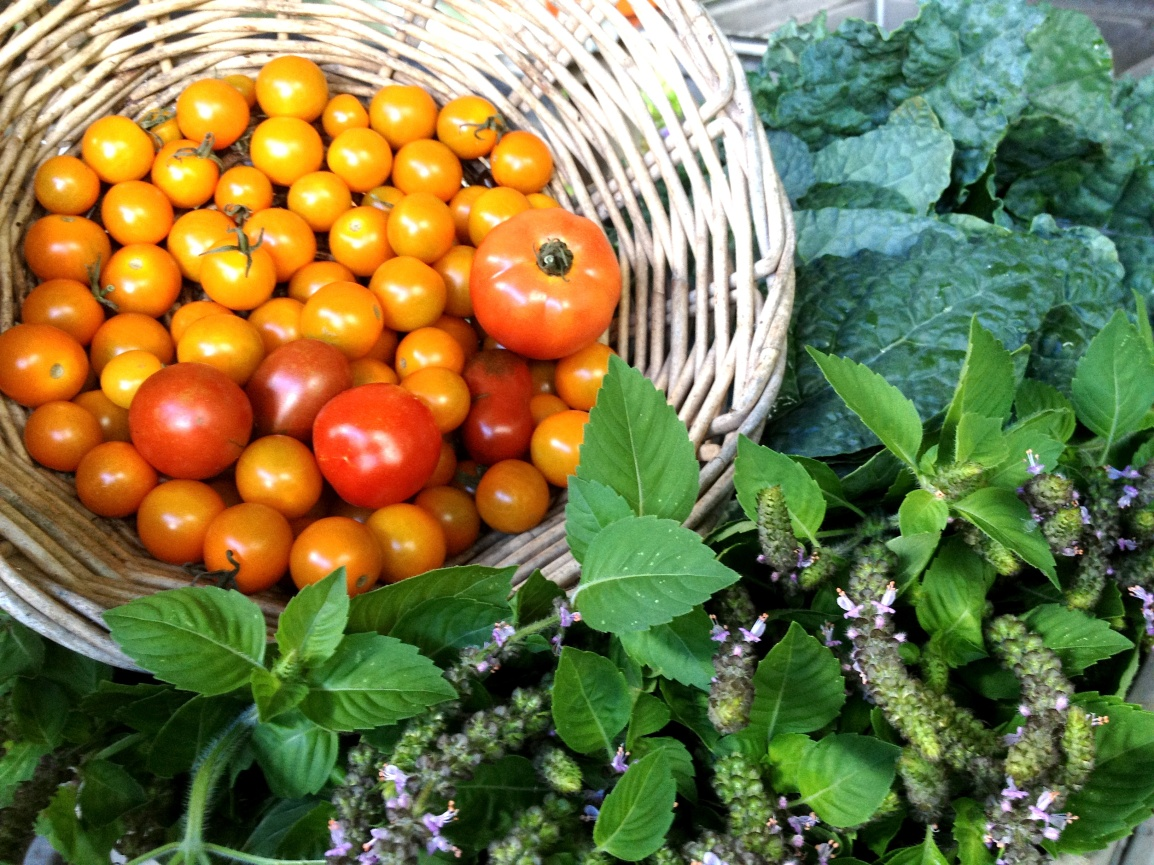 A basket of cherry and heirloom slicer tomatoes rests on a harvest of flowering tulsi (holy) basil and blue-green kale leaves.