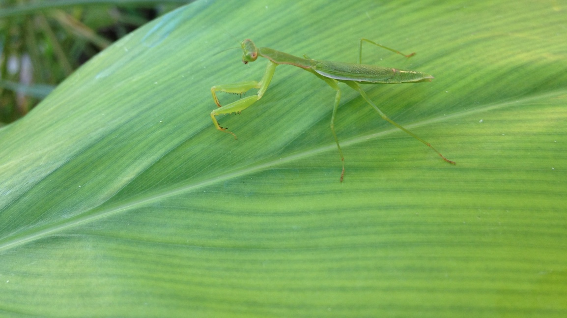 A praying mantis is well camouflaged on a leaf of galangal at ARTfarm.