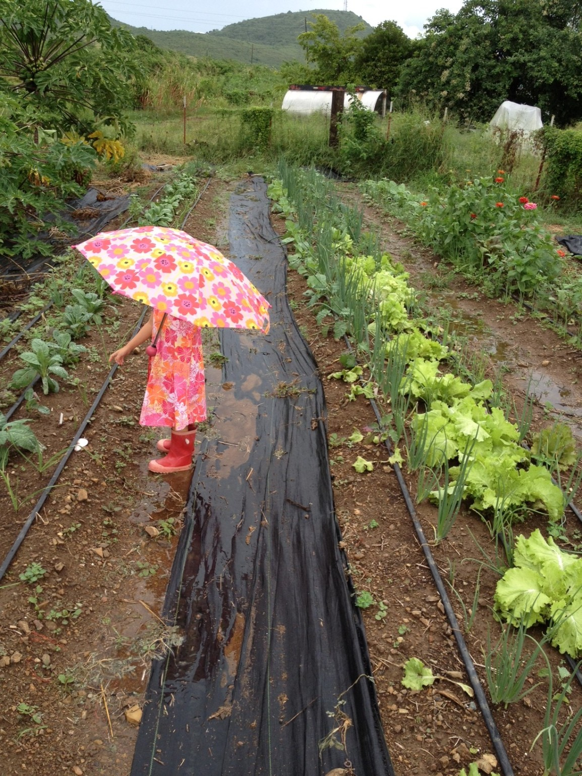 Small person in flowery dress with rubber rain boots and flowery umbrella among the flowers and herb rows at ARTfarm on a very rainy day.