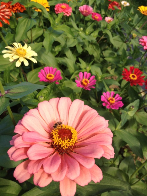 A honeybee collects pollen from a large pink zinnia flower among other brightly colored zinnias.
