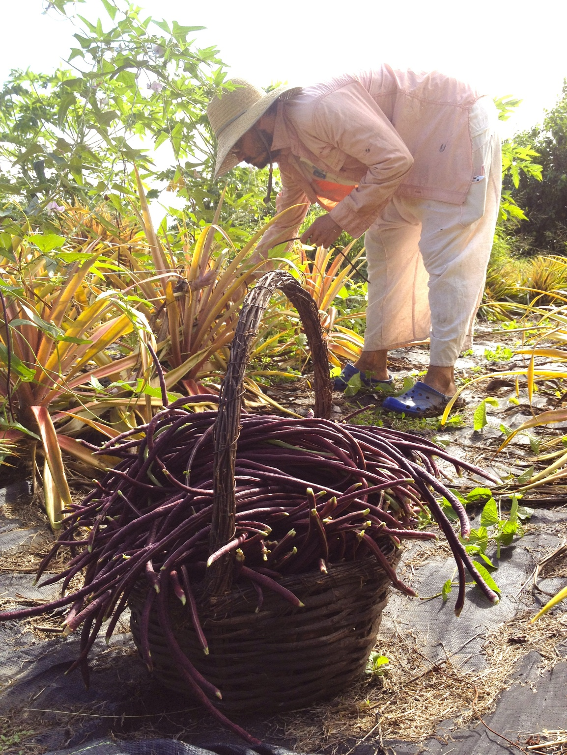 Farmer Luca at ARTfarm picking for an overflowing basket of yard-long purple stringbeans - growing in the pineapple patch.