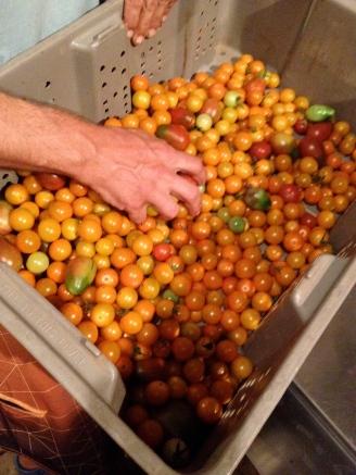 Farmer Luca Gasperi reaches into a harvest bin full of ripe cherry tomatoes at ARTfarm.