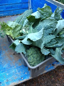A lug full of brocolli fresh picked for Saturday's farmstand at ARTfarm.