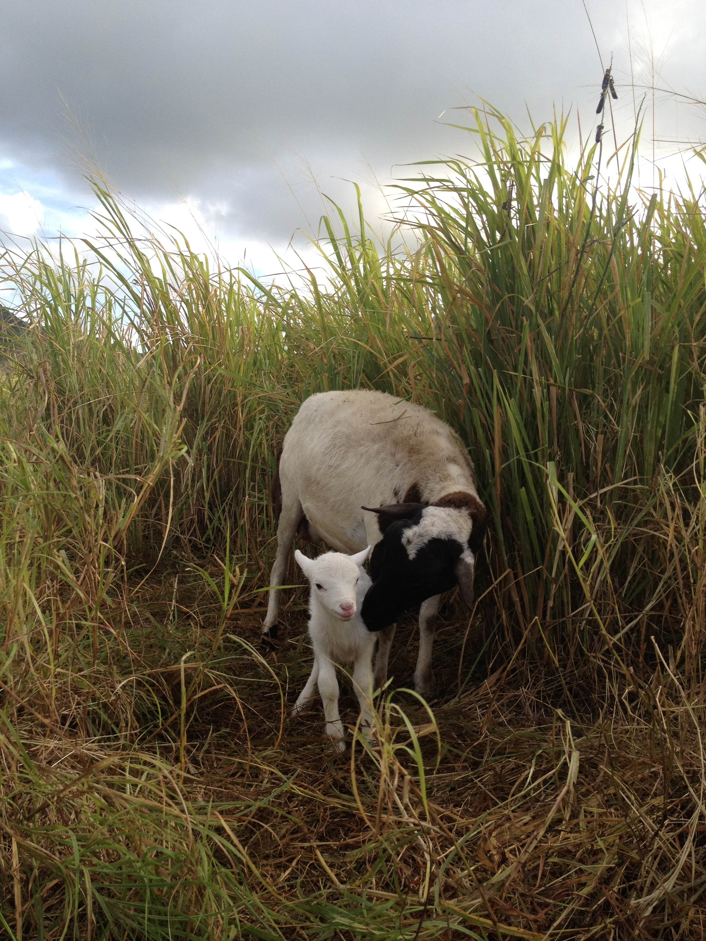 A day-old newborn white lamb stands next to its mother in a grassy pasture.