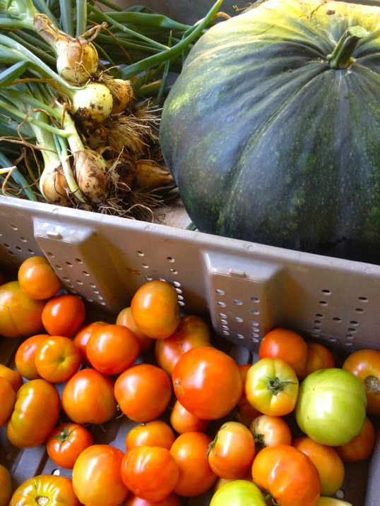 A 32 pound green rind pumpkin sits next to a bin of vine-ripened slicer tomatoes and a pile of organically grown onions with the tops still on.