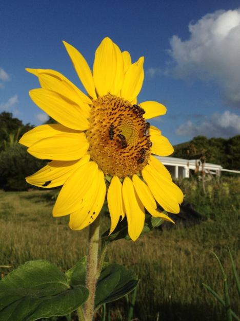 A yellow sunflower with a whorled center pattern faces the early morning light at ARTfarm on St. Croix.