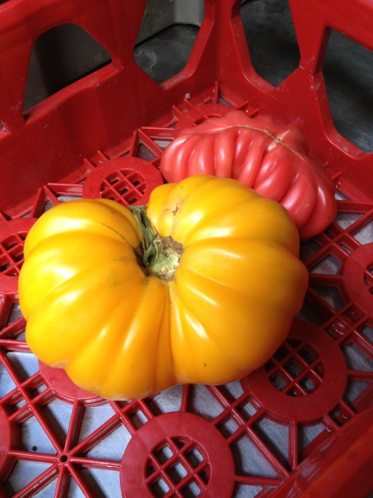 A giant yellow heirloom tomato in a red plastic tray.