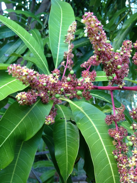 Tiny green orbs pop out of pink spires of mango tree blooms. Soon they will become large, heavy mango fruits.