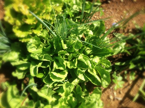 A large head of escarole grows amongst young onions, lettuce and dandelion greens at ARTfarm.