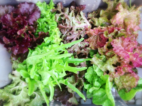 Just harvested at ARTfarm, six different types of sweet lettuces range widely in texture, shape and color - from a spring green oak leaf to a fiery red ombre to a deep burgundy purple lettuce, and other greens and reds in between.