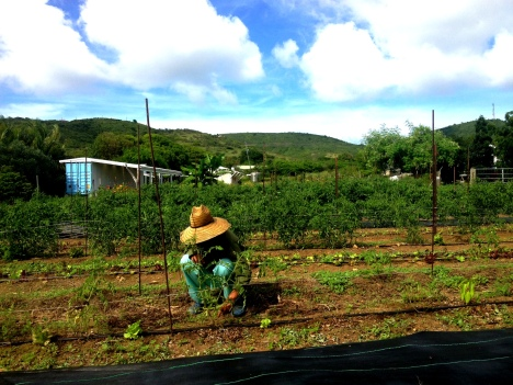 A farmer in a large straw hat squats down to weed a row of young tomato plants, with a banana tree, green hills and a blue sky full of puffy clouds behind him.