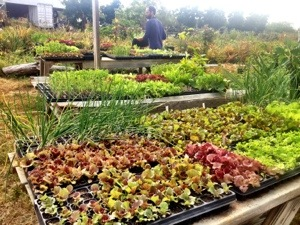 Farmer Luca works between several tables full of colorful young plants in cell trays.