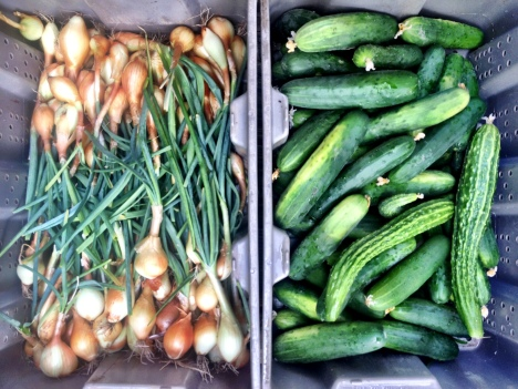 Grey harvest tubs side by side hold green cucumbers and sweet onions with the green tops on.