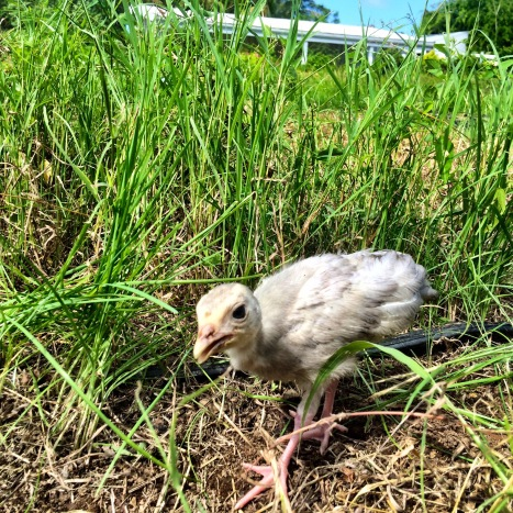 A grey baby turkey poult walks through grass in a garden.