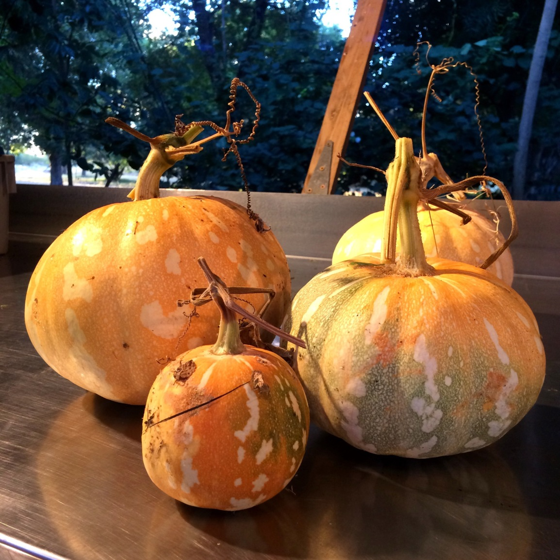 Four pale orange, white spotted pumpkins sit on a stainless tabletop, with pale blue early morning light on the trees and pastures in the distance.