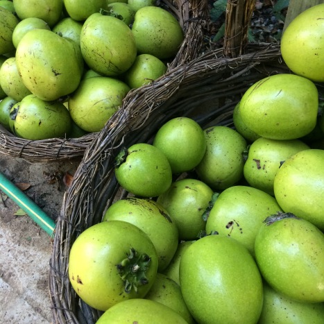 "Two giant baskets hold dozens of large green-skinned black sapote fruits, also known as the ""chocolate pudding fruit""."