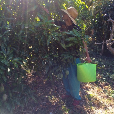 I must be dreaming. Farmer Luca is filling a bucket with RIPE MANGOES in FEBRUARY?? Off season madness!