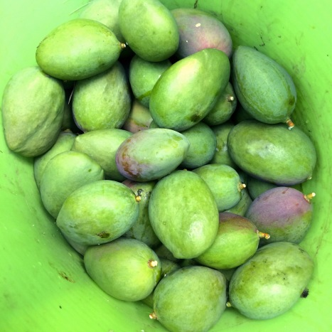 Several dozen green-to-purple mangoes are piled in a large green rubber bucket that is almost the same shade of green.