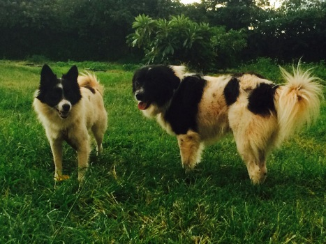 Two black and white fuzzy dogs on the farm.