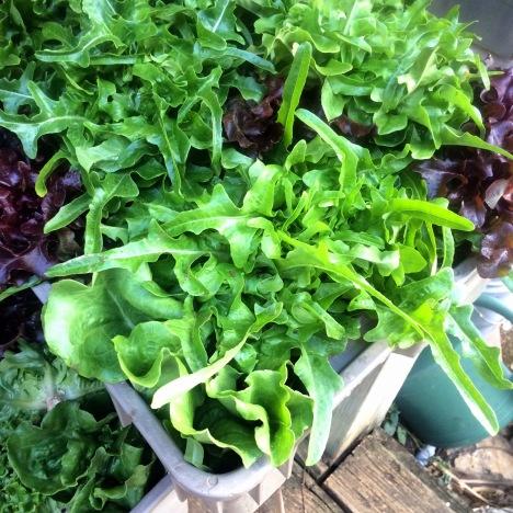 Fresh oakleaf lettuces destined for ARTfarm's sweet mix!