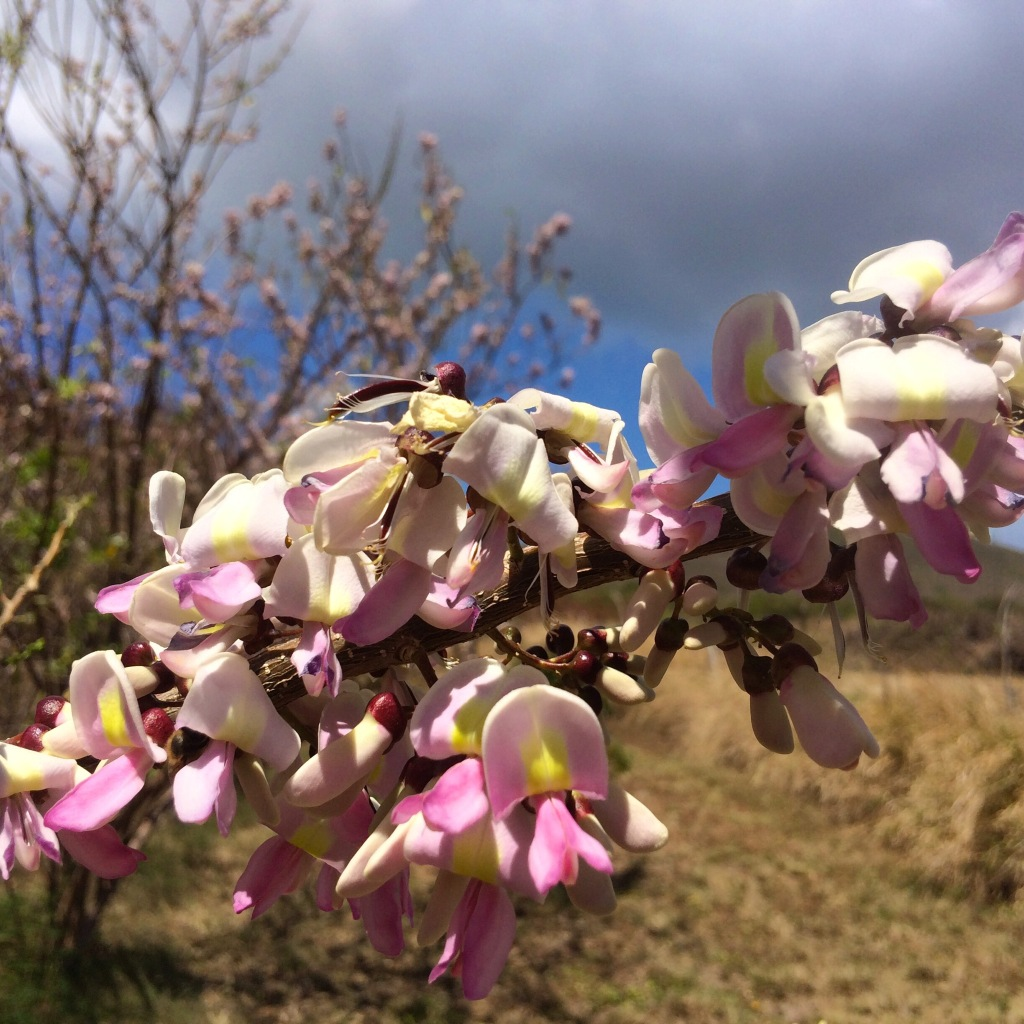 Madre de Cacao trees are blooming and the honeybees are enjoying the pungent flavors of the dry season.