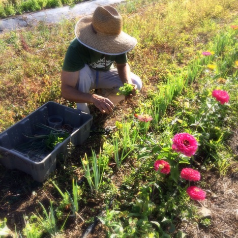 Farmer Luca harvesting herbs. The zinnias have gotten to a pretty ginormous size this week! Treat yourself to a few happy blooms for spring!