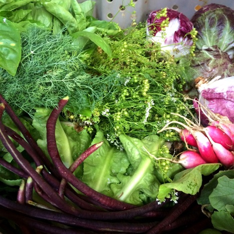 Basil, dill, cilantro with coriander seeds, radicchio, radishes, escarole, long beans...