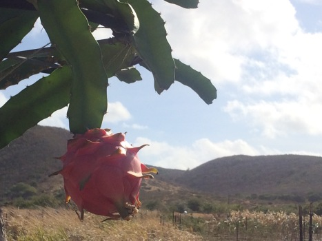 The muse for the painting. An outlier early-season dragonfruit ripens on the vine at ARTfarm.