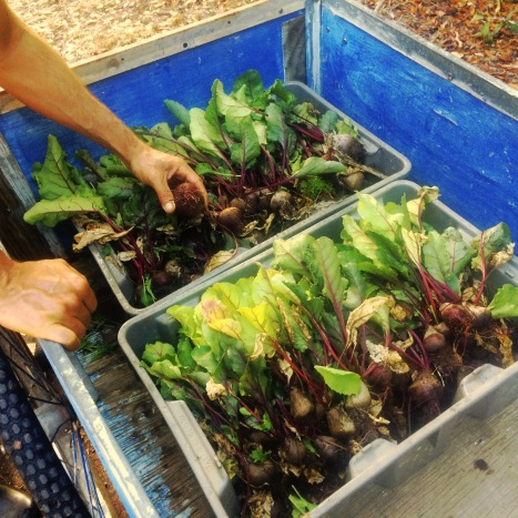 Yummy beets for you and for Chef Joe! Looking forward to the Taste of St. Croix event on Thursday, April 16th 2015!