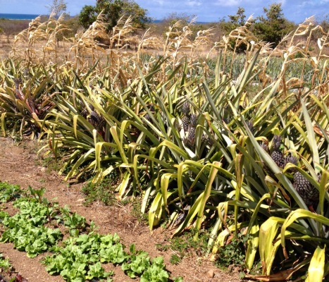 Pineapples ripening at ARTfarm, just in time to ease the sorrow of tomato season coming to a close.