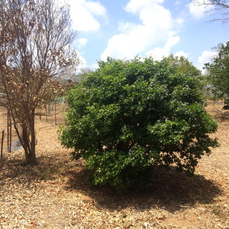 Even in drought times when most vegetation is brown, the lignum vitae tree's evergreen leaves remain deep green and provide dense shade.
