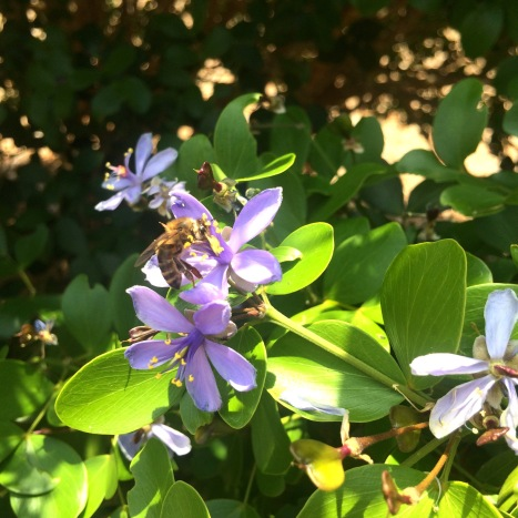 The lignum vitae is an important food source for honey bees in drought times.