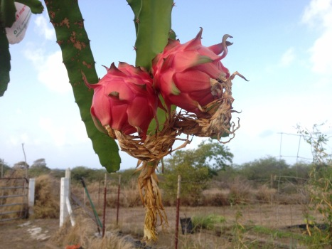 Two hot pink dragonfruits ripen on a green, succulent spiny vine during the dry season.