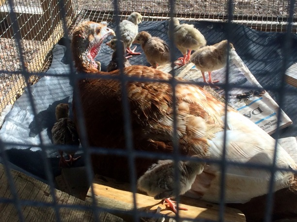 A brown turkey hen looks on as nine fluffy baby poults clamber around her in a wire mesh cage.