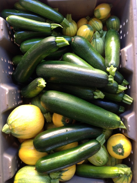 A harvesting tray is full of dark green zucchinis and bright yellow round summer squashes.