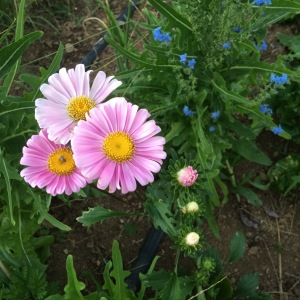 The drought conditions drastically reduced our beneficial insect population; we planted wildflower mixes in the gardens to try and boost their numbers. A side effect of this farming technique is the beautiful flowers.