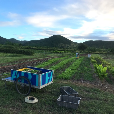 A view of a growing area on the farm, with rolling hills to the north and east. Rows of ginger and lettuce are visible with a cart full of tubs of harvested greens in the foreground.