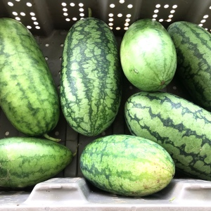 About seven watermelons of small to medium size in a grey tub
