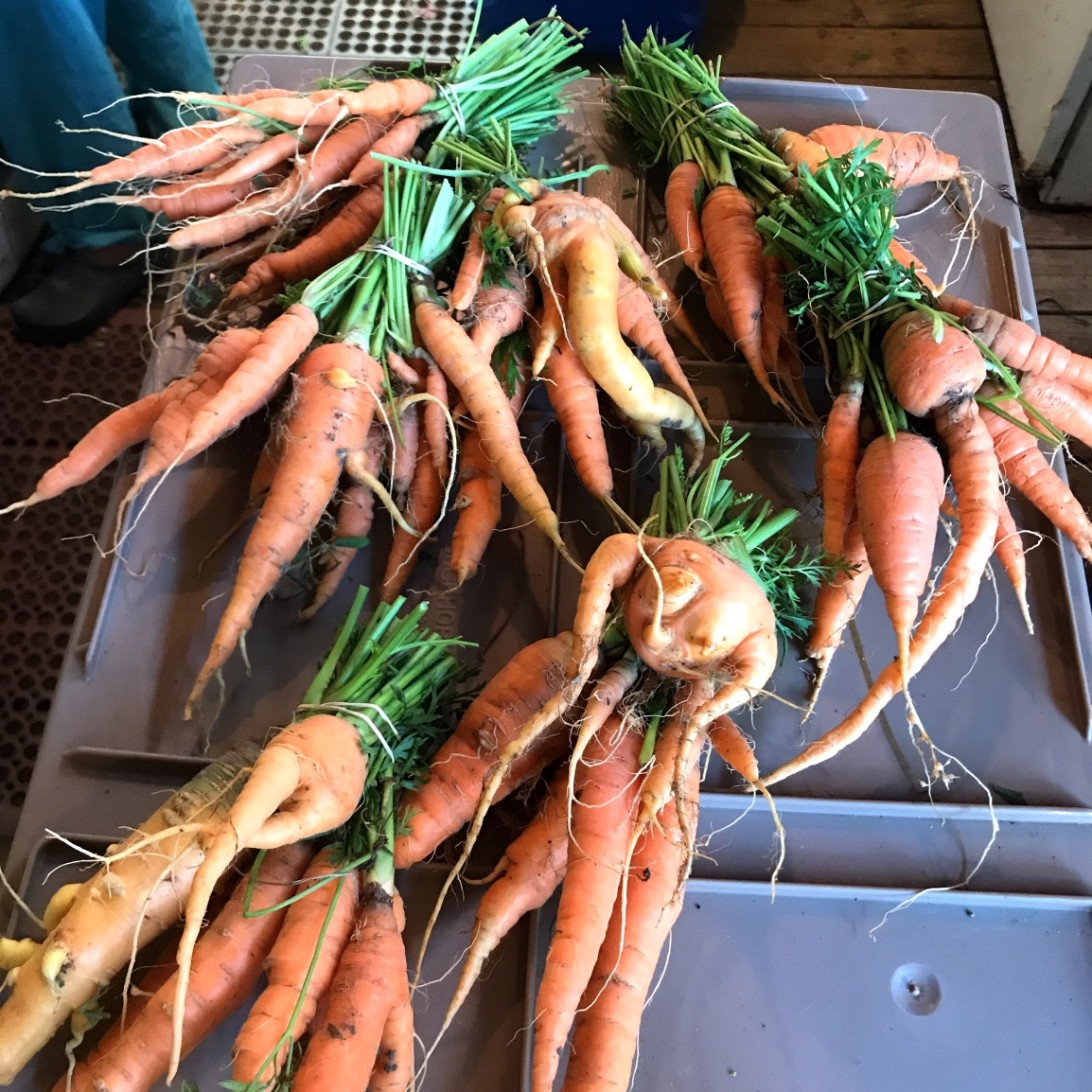 Seven bunches of carrots with odd shapes. Farmstand carrots are not like store-bought carrots.