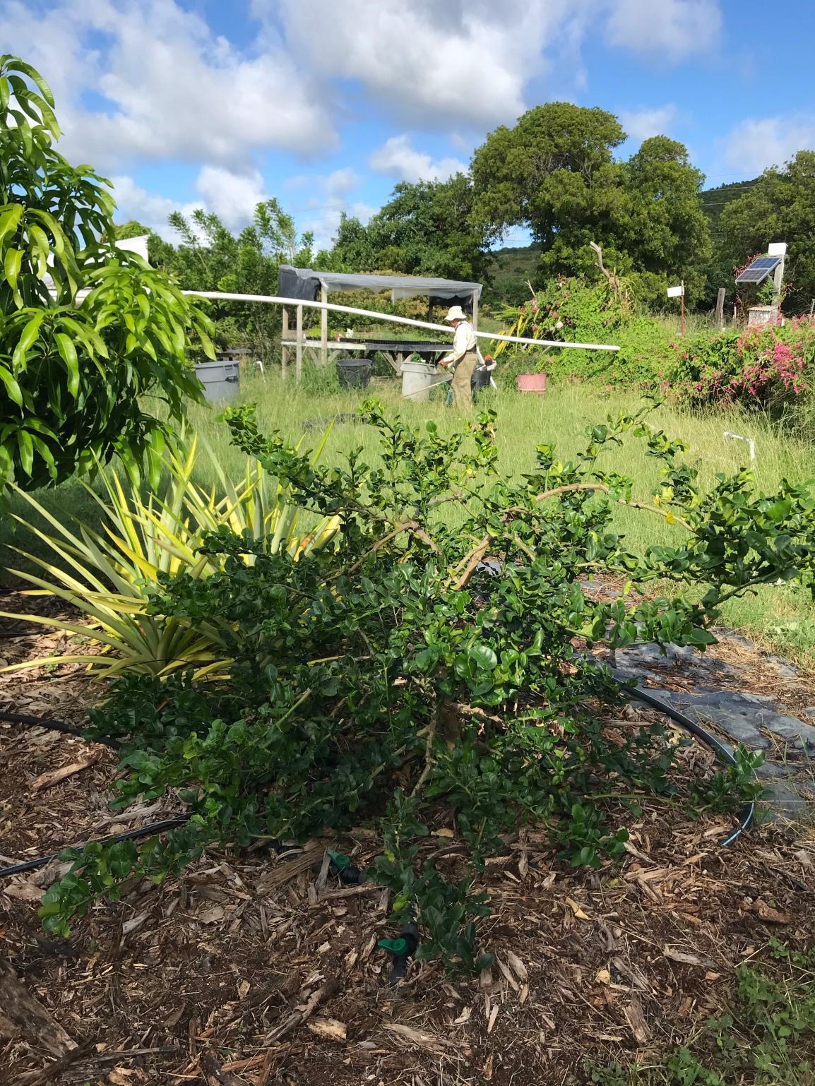 Kaffir lime leaves – herb of theweek